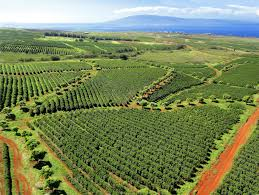 ruiru coffee farm